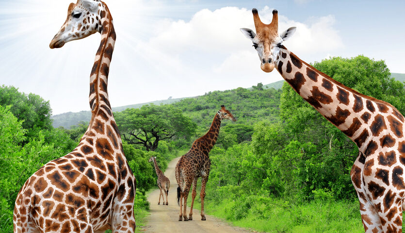 giraffes looking at camera in kruger park near Johannesburg South Africa