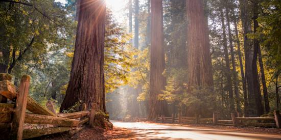 redwood trees at big basin near San Jose California
