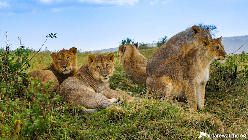 lions of the Maasai Mara in Kenya